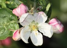Blossom of appletree. With buds Stock Photos
