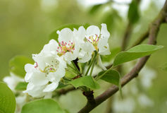 Blossom of appletree Royalty Free Stock Photos