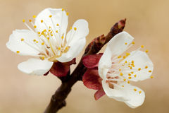 Blossom of apricot Royalty Free Stock Photos