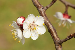 Blossom of apricot Stock Photos