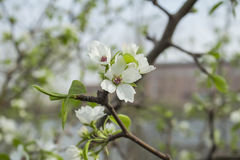 Blossom of apricot blossom. Apricot flowers solitary, first leaves open, petals white or slightly flushed. Scientific name of apricot points out that western Stock Images