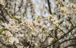 Blossom of apricot blossom. Apricot flowers solitary, first leaves open, petals white or slightly flushed. Scientific name of apricot points out that western Stock Photography