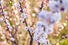 Blossom apricot tree with beautiful white and pink flowers in sunshine day