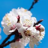 Blossom apricot tree Stock Photo
