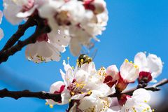 Blossom apricot tree Royalty Free Stock Images