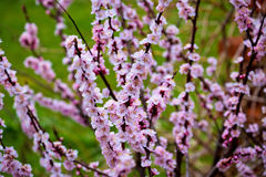 Blossom apricot tree springtime view Royalty Free Stock Photography