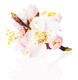 Blossom of the apricot on white background Stock Photo