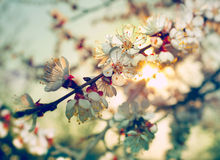 Blossom aprocot Royalty Free Stock Photography