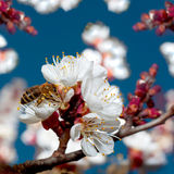 Blossom aprocot tree Stock Photo