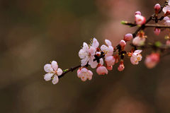 Blossom of Armeniaca sibirica (L.) Lam Stock Photos