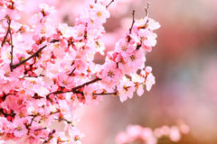 Blossom of Armeniaca sibirica (L.) Lam Royalty Free Stock Photos
