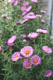 Aster amellus flowers on blurred background. Blossom aster amellus flowers on blurred background stock image