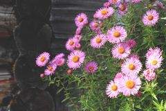 Aster amellus flowers and old wooden house on background. Blossom aster amellus flowers and old wooden house on background royalty free stock image