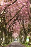 Blossom Avenue, Edinburgh. An avenue of blossom trees in Springtime, Edinburgh, Scotland Royalty Free Stock Images