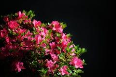 Blossom azalea Stock Image
