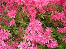 Blossom azallea Royalty Free Stock Photo