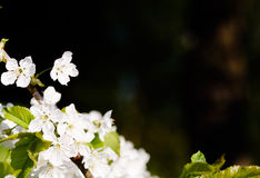 Blossom background Stock Photography