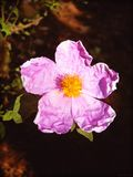 Cistus creticus in blossom background and wallpapers in top high quality prints royalty free stock image