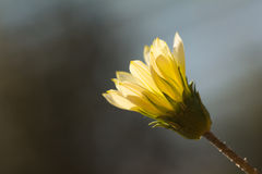 Blossom backlit by the sun Royalty Free Stock Photos