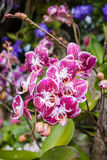Blossom beautiful pink orchid Stock Photography