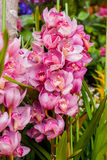 Blossom beautiful pink orchid Stock Photos
