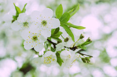 Blossom of beautiful spring cherry tree Stock Images