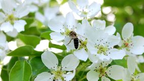 Blossom, Bee, Flower, Spring royalty free stock photo