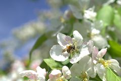 Blossom, Bee, Nectar, Flora stock photography