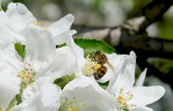 Blossom bee2. Blossom of the tree with working bee Royalty Free Stock Photography