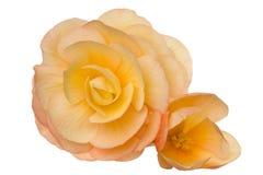 Blossom (begonia) Stock Photo