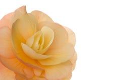Blossom (begonia) Royalty Free Stock Image