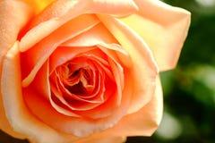 Blossom beige rose in garden Stock Photo