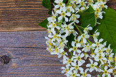 Blossom bird cherry stock photography