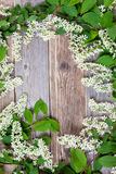 Blossom bird cherry royalty free stock images