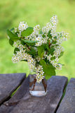 Blossom of bird cherry on garden table Stock Images