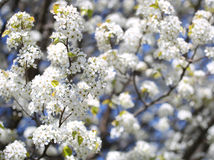 Blossom of Bird Cherry or Prunus padus. White Flowers. On Spring Day Stock Photos