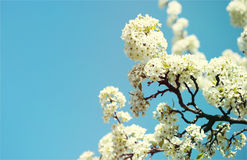 Blossom of Bird Cherry or Prunus padus. White Flowers. On Spring Day over Blue Sky Stock Photo