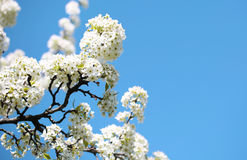 Blossom of Bird Cherry or Prunus padus. White Flowers. On Spring Day over Blue Sky Stock Images