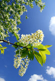 Blossom bird cherry tree branch Stock Image