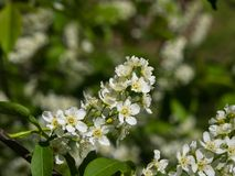 Blossom of bird-cherry tree close-up with bokeh background, selective focus, shallow DOF Stock Photo