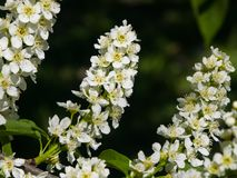 Blossom of bird-cherry tree close-up with bokeh background, selective focus, shallow DOF Royalty Free Stock Images