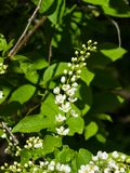 Blossom of bird-cherry tree close-up with bokeh background, selective focus, shallow DOF Stock Photos