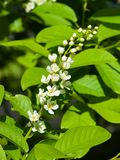 Blossom of bird-cherry tree close-up with bokeh background, selective focus, shallow DOF Stock Image