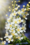 Blossom bird cherry tree flowers Royalty Free Stock Images