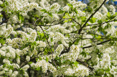 Blossom bird cherry tree on springtime Royalty Free Stock Images