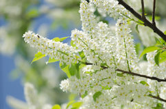 Blossom of the bird-cherry tree. With white flowers Royalty Free Stock Photography