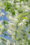 Blossom of the bird-cherry tree. With white flowers royalty free stock photos