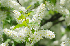 Blossom of the bird-cherry tree. With white flowers Royalty Free Stock Image