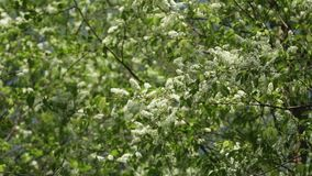 Blossom bird cherry trees wind swaying spring stock video footage