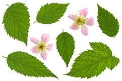 Blossom blackberry on white Stock Image